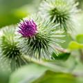 写真: ゴボウの花