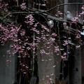 祇園の花音