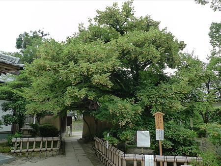 戒壇院の菩提樹(1)