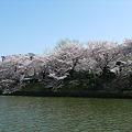 舞鶴公園の桜(10)