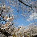 Photos: 桜 2016 超広角1