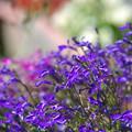 写真: 内巻きの紫の花
