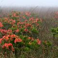Photos: 霧の高原に咲く