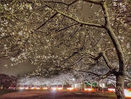 名も知らぬ公園の夜桜