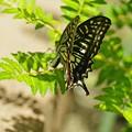 写真: 帰ってきた蝶