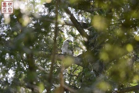 フクロウのヒナ02