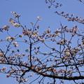 写真: 桜市04