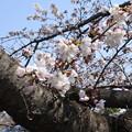 写真: 桜市06