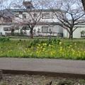 写真: 桜02