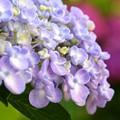 おたふく紫陽花~
