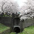 Photos: IMG_1448権現堂桜堤