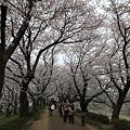Photos: IMG_1397権現堂桜堤2
