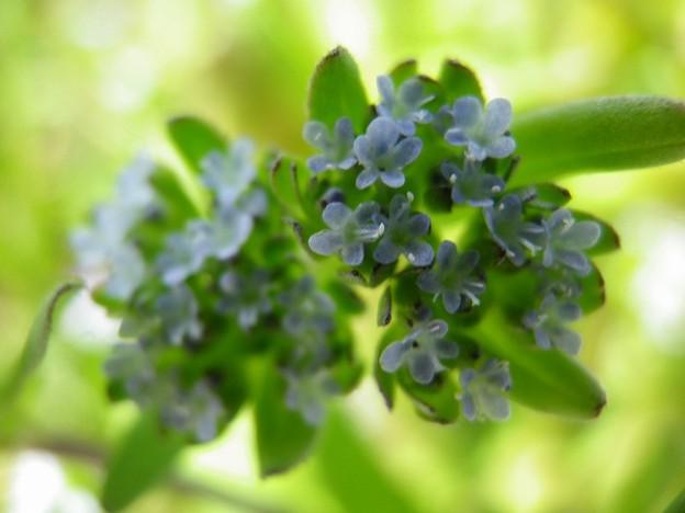 150418-5 小さな青い花 ノヂシャ?