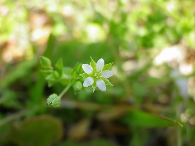 150418-7 小さい白い花 ノミノツヅリ?