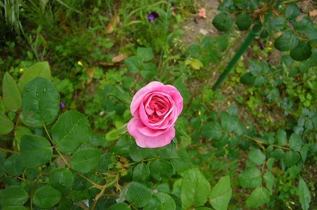 150509-5 ピンクのつるバラ
