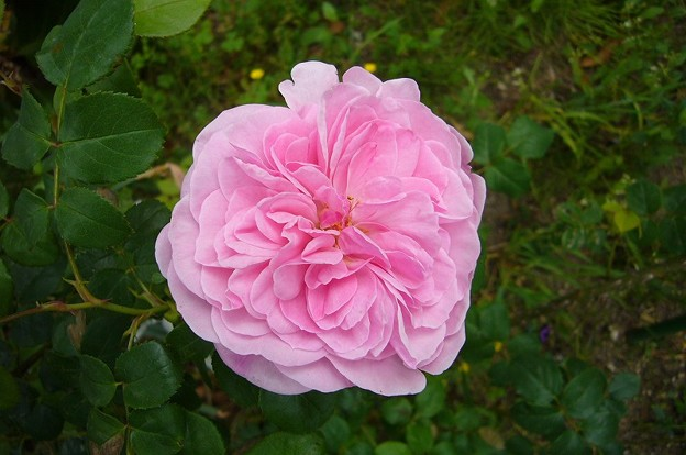 150512-4 ピンクのつるバラ