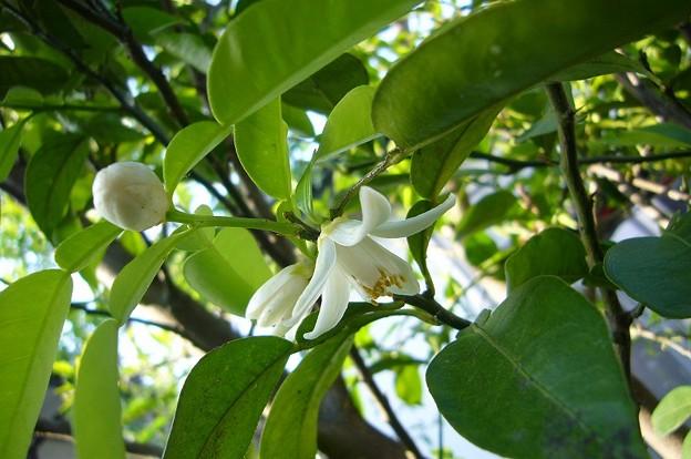 150514-2 柚子の花