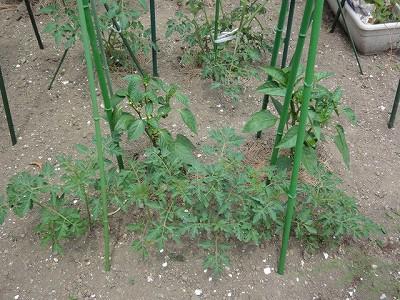 160524-4 こぼれ種からミニトマトの苗