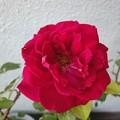 160610-2 赤いバラ