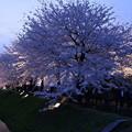 金沢城 お堀の桜