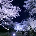 金沢城公園 満開の桜のトンネル?