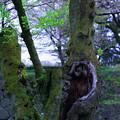 ソメイヨシノ 老いた木