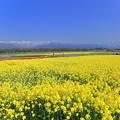菜の花畑と北アルプス?