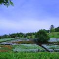 大乗寺丘陵公園 ツツジ(1)