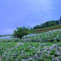 大乗寺丘陵公園 ツツジ(7)