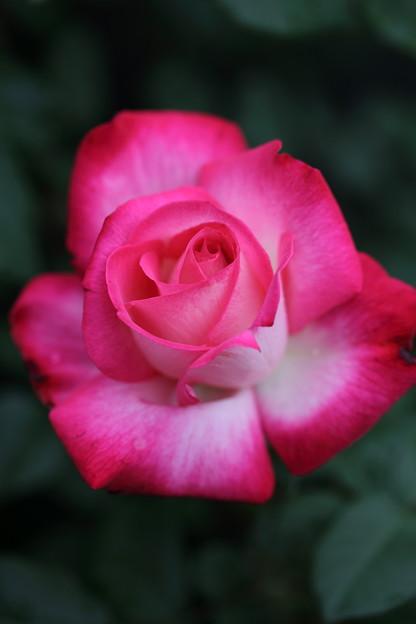 薔薇 聖火