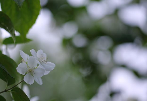 梅花空木(2)