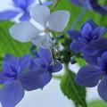 Photos: 紫陽花と白蝶草