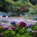 Photos: 卯辰山・花菖蒲園のアジサイ