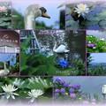 健民公園の白鳥&睡蓮と紫陽花