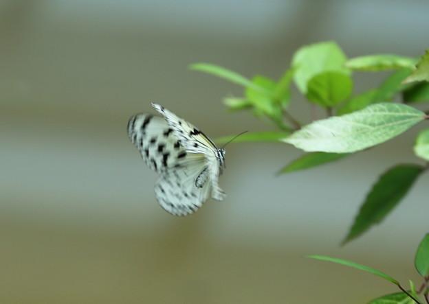 ふれあい昆虫館 オオゴマダラ 飛翔
