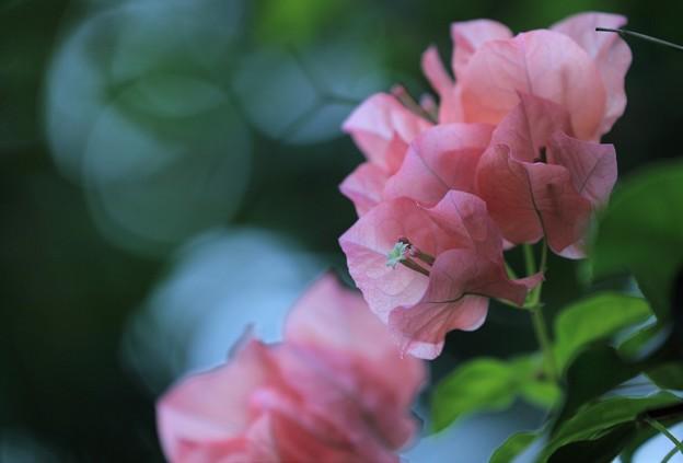 ピンクのブーゲンビレア