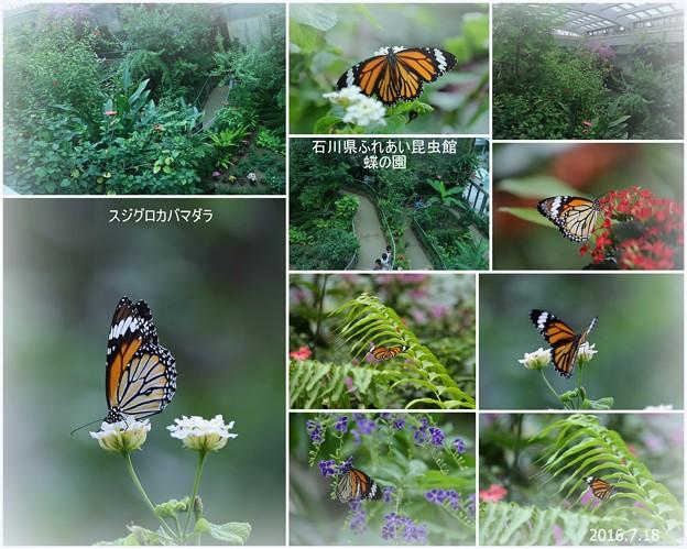 スジグロカバマダラ  蝶の楽園