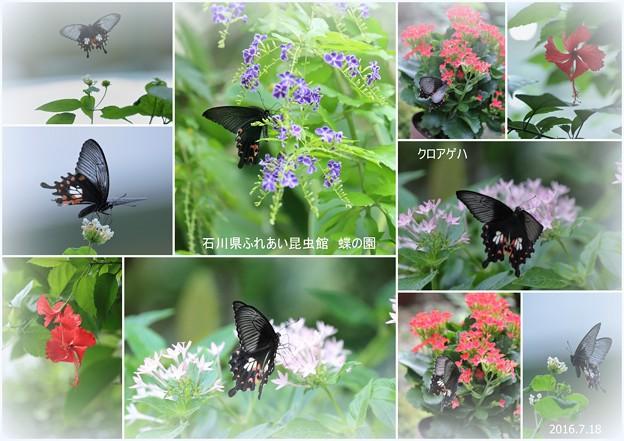 クロアゲハ  蝶の楽園