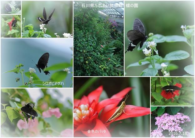シロオビアゲハ  蝶の楽園