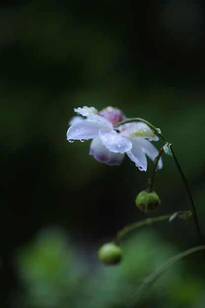 雨のレンゲショウマ(1)