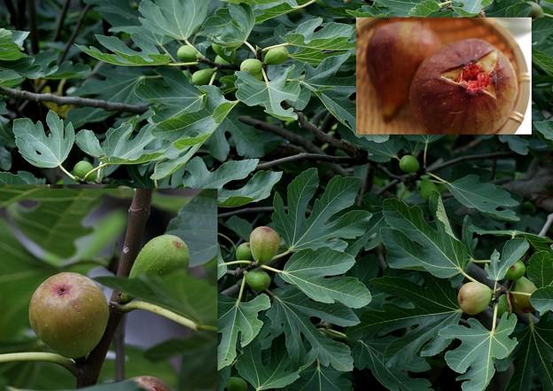 秋の味覚 イチジク