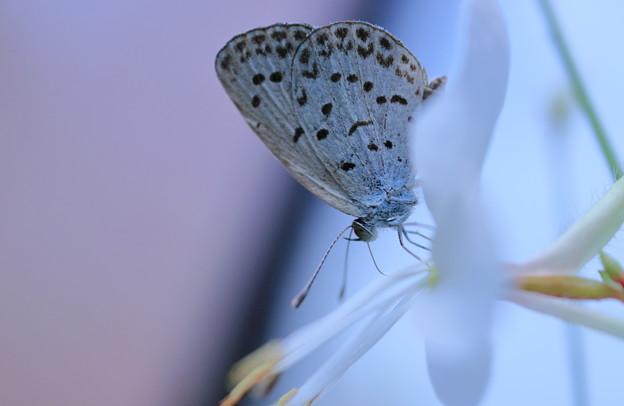 白蝶草にヤマトシジミ(2)