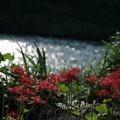 伏見川と彼岸花