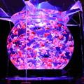 Photos: アートアクアリウム「花魁」 金沢21世紀美術館
