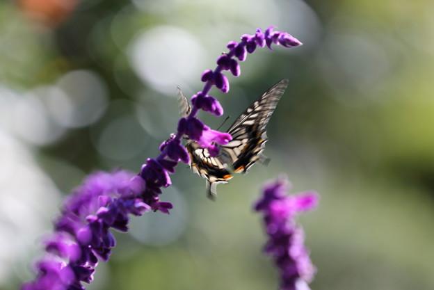 Photos: アゲハチョウ