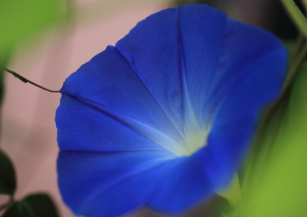 写真: 今年初 朝顔が開花