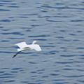 東京湾の白鷺さん