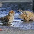 写真: 皇居外苑で 水浴びスズメちゃん