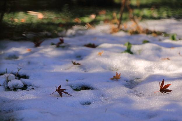 明月院 初雪とモミジ