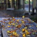 Photos: 明月院 モミジの落ち葉